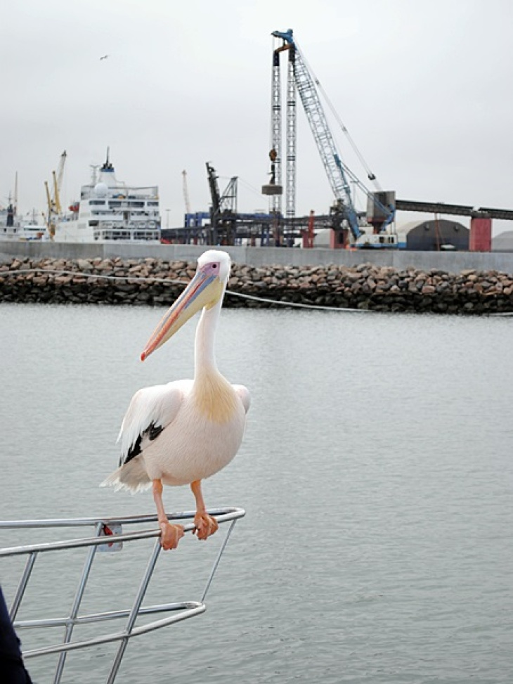 Pelican sits on a boat outside the harbour